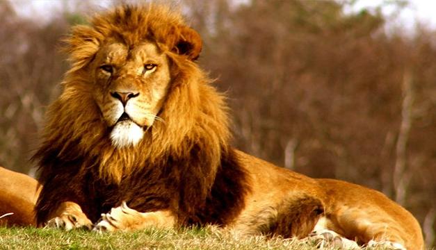 Kisah Singa Raksasa